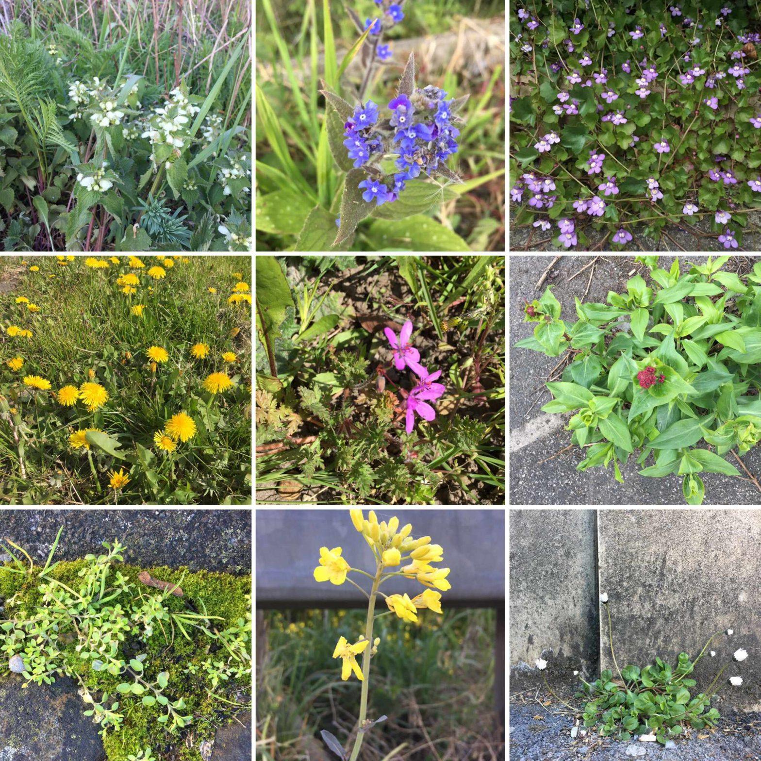 A grid of nine photos of urban wildflowers